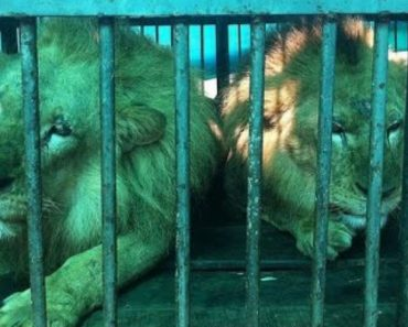 33 Abused And Hurt Circus Lions Travel Thousands Of Miles To Freedom 5