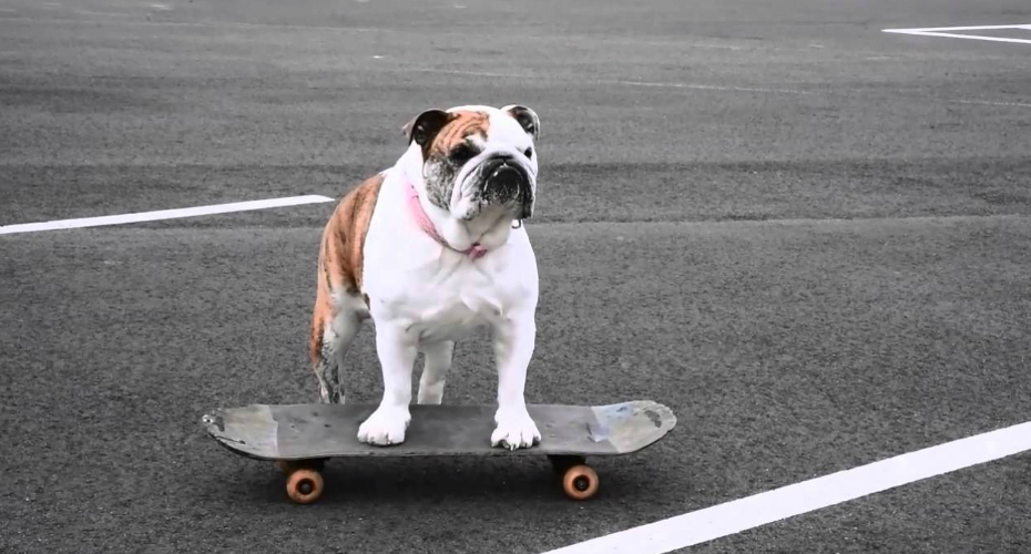 how to train your english bulldog to skateboard