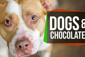Why Can't Dogs Eat Chocolate? 18