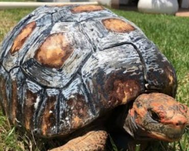 Tortoise Gets Hand-Painted 3D Printed Shell After Surviving Forest Fire 6