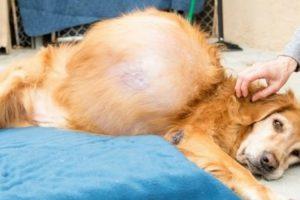 A Dog With A 46-Pound Tumor Got A Life-Saving Surgery, You Have To See This 11