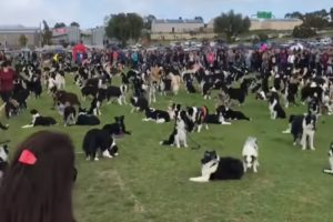 Here's 576 Border Collies Together In One Field Attempting To Break a World Record 10
