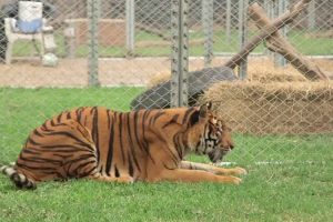 Tiger Who Spent Entire Life In Cruel Circus Rescued And Freed 10