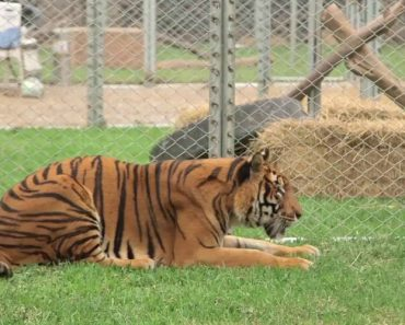 Tiger Who Spent Entire Life In Cruel Circus Rescued And Freed 8