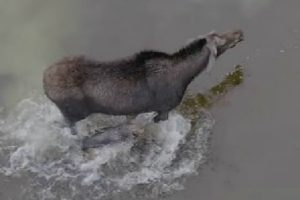 Drone Captures Epic Fight Between Moose And Wolf 12