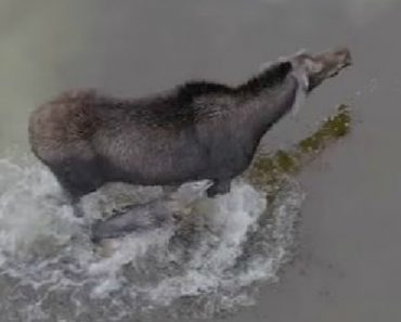 Drone Captures Epic Fight Between Moose And Wolf 8