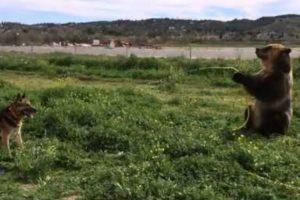 Brown Bear Sprays Dog With Hosepipe 10