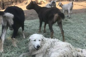 Devoted Dog Stays Behind to Protect Goats from California Wildfires 12