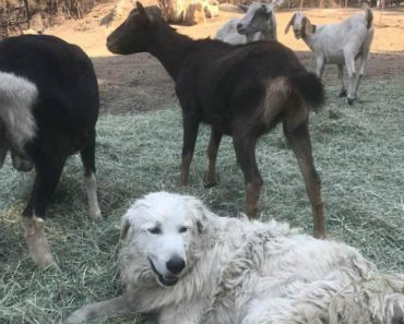 Devoted Dog Stays Behind to Protect Goats from California Wildfires 2