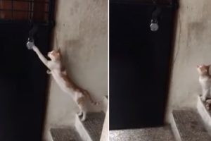 A Surprisingly Well Mannered Cat Politely Knocks On the Door In Order to Be Let Inside the House 12
