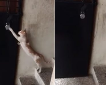 A Surprisingly Well Mannered Cat Politely Knocks On the Door In Order to Be Let Inside the House 9
