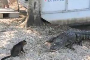 Incredible Cat Saves Boy From Two Vicious Gators 11