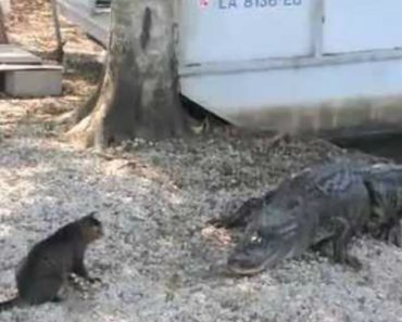 Incredible Cat Saves Boy From Two Vicious Gators 6
