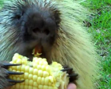 Adorable 'Talking' Porcupine Doesn't Like To Share 6