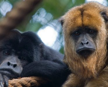 The Horrific Sound Of The Howler Monkey Will Give You Nightmares 4