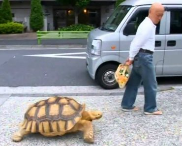 Japanese Man Takes Pet Tortoise For Walk 8