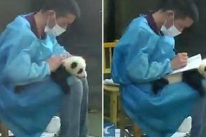 Panda Keeper Takes Notes On The Back Of A Tiny Cub As It Lies Perfectly Still On His Lap 10