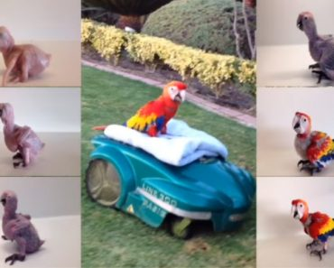 Scarlet Macaw: Watch The Transformation From Baby To Beautiful Adult Parrot 4
