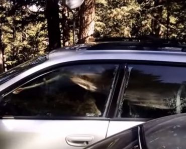 A Bear Locked Itself Into A Car And No One Is Quite Sure How It Did It 9