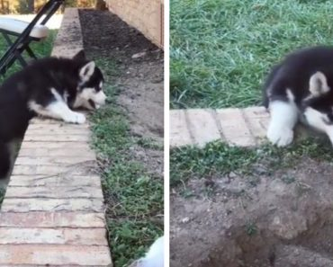 Husky Puppy Tries To Help His Sibling Climb A Small Wall And It Couldn't Get Any Funnier 6
