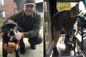 Pit Bull Dresses Up as Her Favorite UPS Deliveryman for Halloween 9