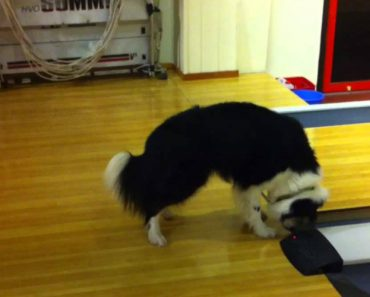 Funny Border Collie Freaks Out At Bowling Alley Foul Line 1