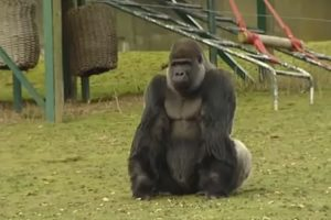 Meet Ambam, The Gorilla Who's Amazing Visitors From All Around The World 11