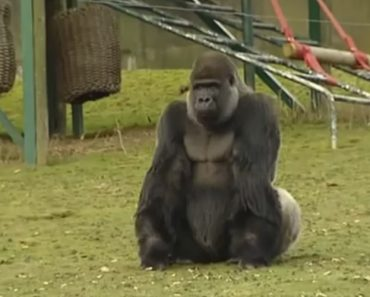 Meet Ambam, The Gorilla Who's Amazing Visitors From All Around The World 6