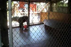 Monkey Entertains Zoo Visitors With A Dance Before Flinging Poo At Them 11