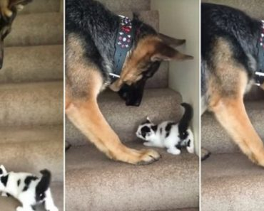 Giant German Shepherd Helps Tiny Foster Kitten Get Upstairs By Carrying Him 8
