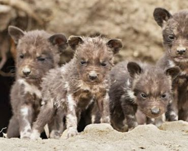 African Wild Dog Puppies Filmed Emerging For The First Time 5