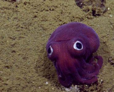 Ocean Exploration Team Spots 'Googly-Eyed' Stubby Squid Off California Coast 7