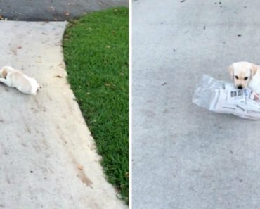 Adorable Puppy Struggles To Carry Newspaper 2