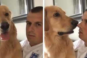 You Have To See This Golden Retriever Sweet Reaction To Finding Out He's Getting A Baby Brother 12
