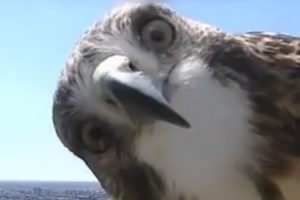 A Curious Hawk Investigates a TV Weather Camera at the Top of a Lincoln, Nebraska Tower 11