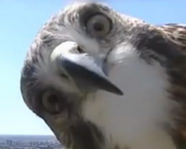 A Curious Hawk Investigates a TV Weather Camera at the Top of a Lincoln, Nebraska Tower 2