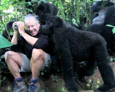 A Family Of Mountain Gorillas Accept A Photographer In A Black Shirt As One Of Their Own 6