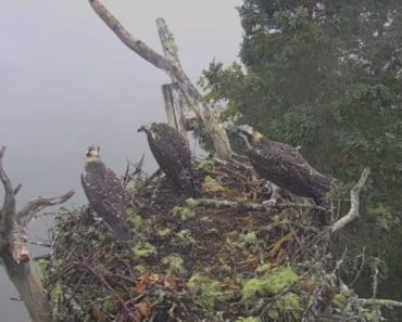 Ferocious Bald Eagle Snatches An Osprey Right Out Of Its Nest 5
