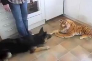 German Shepherd Has The Funniest Reaction To Stuffed Animal 8