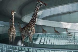 Happy Giraffes Diving Into A Pool Will Make Your Day 10