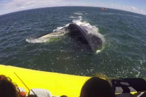 Huge Finback Whale Surfaces Right Near Canadian Tourism Boat 12