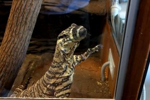 Reptile Expert Trains a Monitor Lizard to Wave Whenever He Wants to Come Out of His Enclosure 12