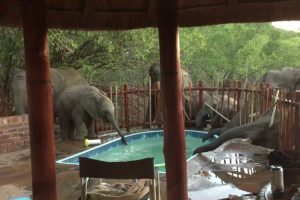 Thirsty Elephants Crash Family's Pool Party 10