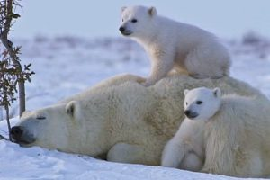 You're Going To Fall In Love With This Adorable Polar Bear Family 10