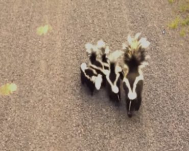 A Family Of Curious Skunks Adorably Waddle Towards a Bicycling Human In a Quebec Park 7