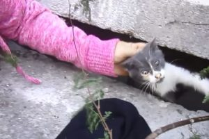 Kitten Trapped In Storm Drain And Crying For Help Is Rescued 9