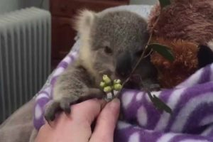 Baby Koala Stars In A Completely Adorable Home Video 11