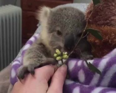 Baby Koala Stars In A Completely Adorable Home Video 5