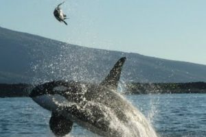 Killer Whale Stuns Tourists With Galapagos Turtle Attack 10