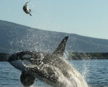 Killer Whale Stuns Tourists With Galapagos Turtle Attack 5